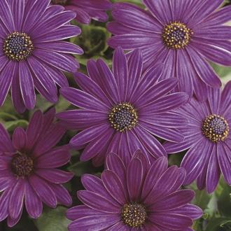 Osteospermum Serenity Flower Plant Collection