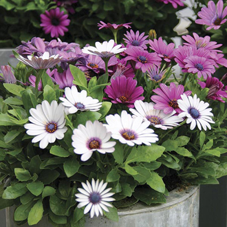 Osteospermum Akila Berries and Cream Flower Plants