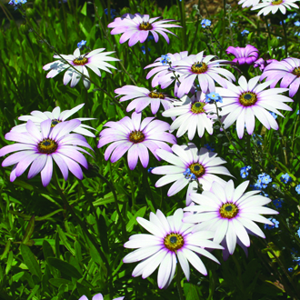 Osteospermum Flower Plant Collection