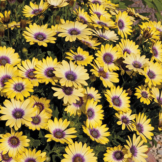 Osteospermum Serenity Blue Eyed Beauty Plants