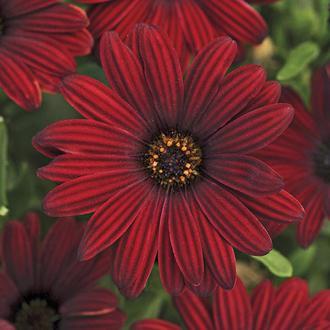 Osteospermum Serenity Red Flower Plants