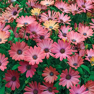 Osteospermum Serenity Rose Magic Flower Plants
