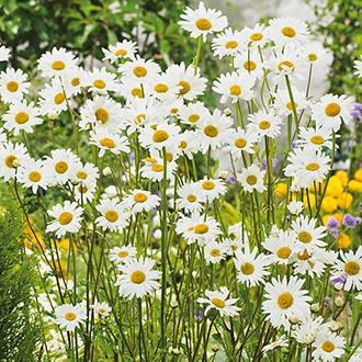 Oxeye Daisy Flower Plants