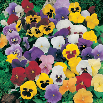 Pansy Mr F's Winter Flowering Mixed F1 Plants