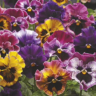 Pansy Fizzy Fruit Salad Mixed F1 Plants