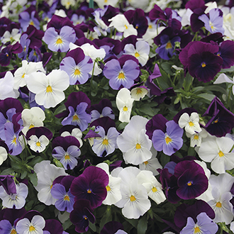 Pansy Cool Wave Berries 'n' Cream Mixed F1 Plants