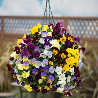 Pansy Cool Wave Mixed F1 Plants