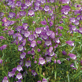 Penstemon Carillo Purple Flower Plants