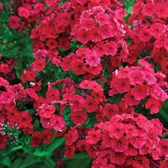 Phlox Paniculata Red Riding Hood Plants From Mr Fothergill