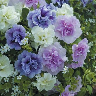 Petunia Tumbelina Series Scented Falls Plants