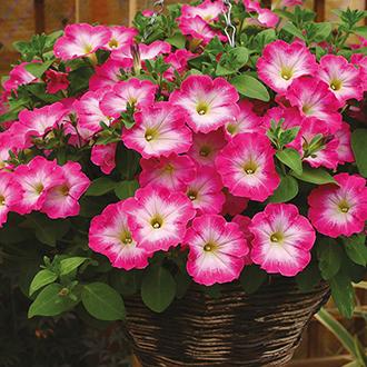 Petunia Corona Rose Rim Plants