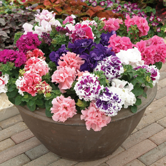 Petunia Double Pirouette Mixed F1 Flower Plants