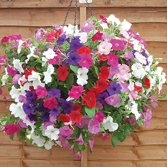 Petunia Easy Wave Mixed F1 Flower Plants
