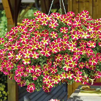 Petunia Amore Queen of Hearts Plants