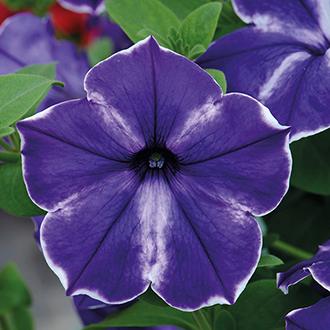 Petunia Designer Ink Splash Plants