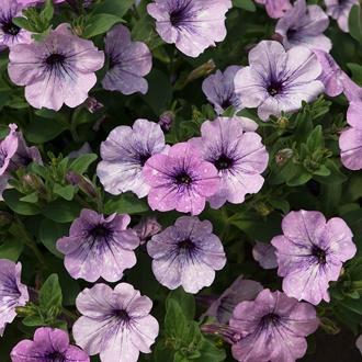 Petunia Lavender Sky Flower Plants