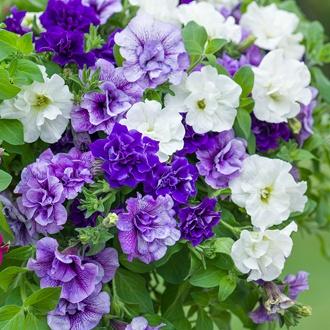 Petunia Tumbelina Belinda (Deep Blue) Flower Plants