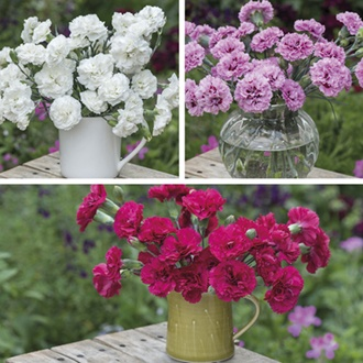 Dianthus Scented Garden Pinks Flower Plant Collection
