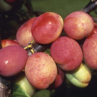 Patio Plum Victoria fruit tree