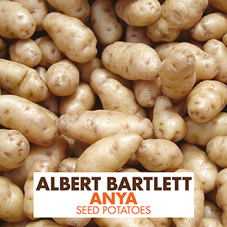 Potato Anya (Second Early Seed Potato)