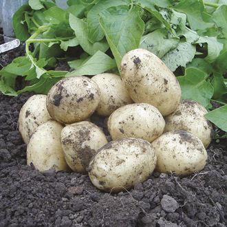 Potato Swift (Extra Early Seed Potato)