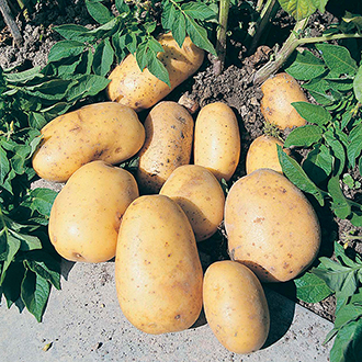 Potato Maris Piper (Maincrop Seed Potato)