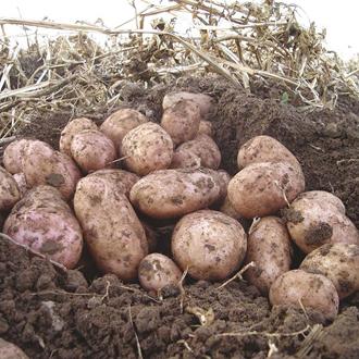 Potato Stemster (Maincrop Seed Potato)