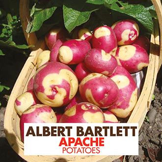 Potato Apache (Maincrop Albert Bartlett Seed Potato)
