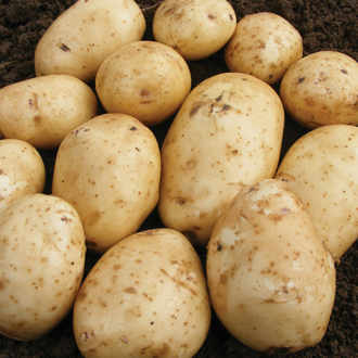 Potato Abbot (Extra Early Seed Potato)