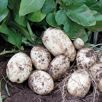 Potato Divaa (First Early Seed Potato)