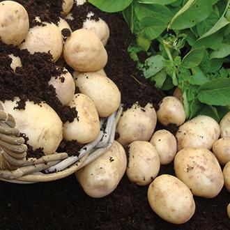 Potato Pentland Crown (Main Seed Potato)