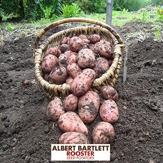 Potato Rooster (Maincrop Albert Bartlett Seed Potato)