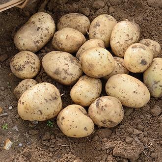 Potato (Extra Early) Casablanca