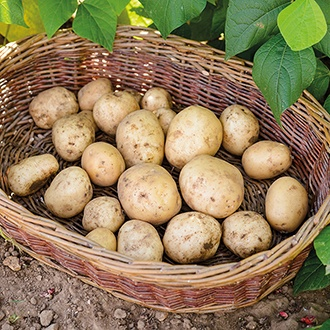 Potato Foremost (First Early Seed Potato) AGM