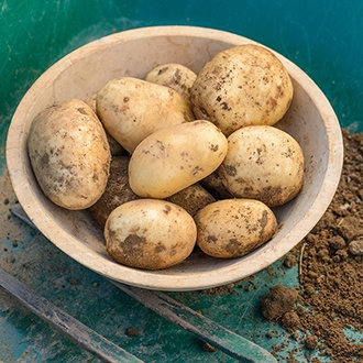 Potato Pentland Javelin (First Early Seed Potato)