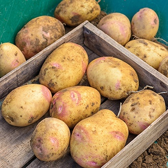 Potato Picasso AGM (Maincrop Seed Potato)