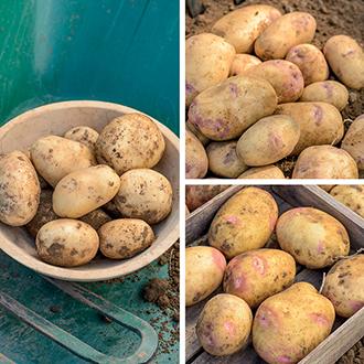 Garden Friendly Seed Potato Collection