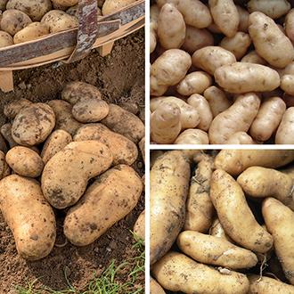 Chef's Culinary Potato Collection