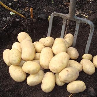 Potato Wilja (Second Early Seed Potatoes)