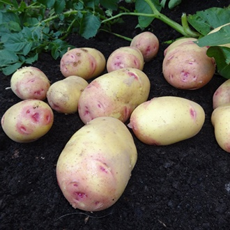Potato Carolus (Maincrop Seed Potato)