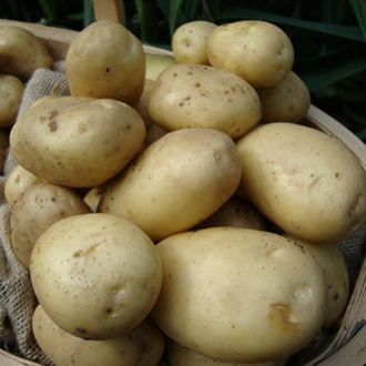 Potato Estima (Second Early Seed Potato)