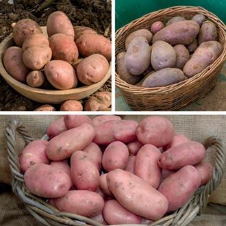 Blight Resistant Sarpo Potato Collection