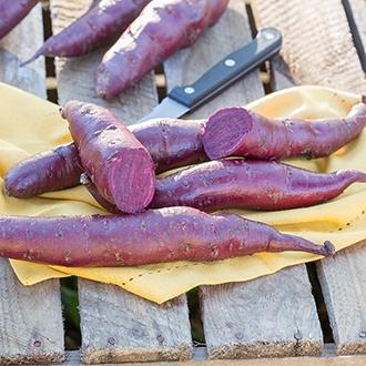 Sweet Potato Erato Violet Plants