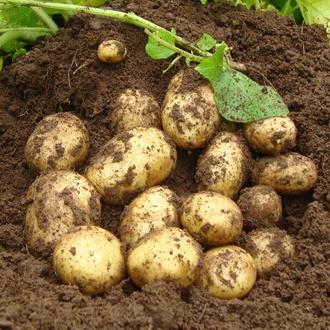 Potato Premiere (First Early Seed Potato)