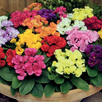 Primrose Primlet Mixed F1 Plants