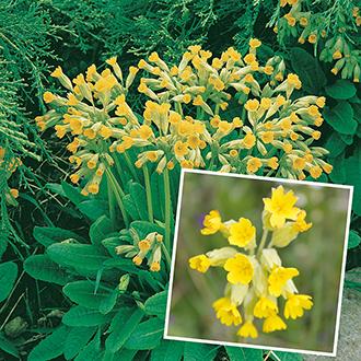 Primula Plant Collection