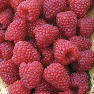 Raspberry Polka AGM Fruit Canes (Primocane)