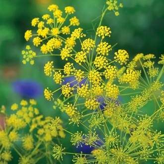 Ridolfia segetum Flower Plants