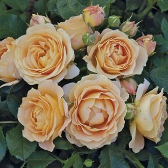 Rose Dolce Vita®