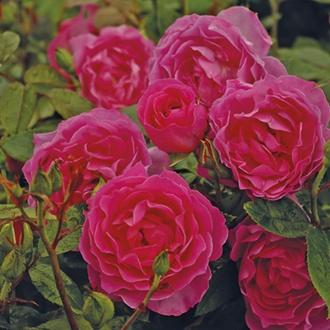Rose Generation Jardin®